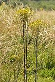 Pieds de Séneçon jacobée dans une prairie France ; Lieu : Les Ardouins