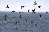 Chalutier et vol de Goëlands marins Détroit de Magellan ; @ Détroit de Magellan (Chili)