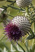 Close-up of Bull thistle in bloom Pyrénées Atlantiques ; Commune : Bustince