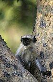 Entelle de l'Inde sur un tronc Forêt décidue Ranakpur Inde