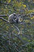 Entelle de l'Inde et jeune Forêt décidue Ranakpur Inde