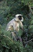 Entelle de l'Inde dans une arbre Forêt décidue Ranakpur Inde