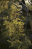 Entelle de l'Inde Forêt décidue Ranakpur Inde