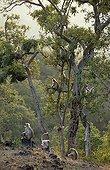 Entelles de l'Inde Forêt décidue Ranakpur Inde