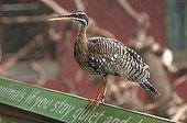 Sunbittern put on a sign London zoological garden UK