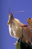 Malaysian orchid mantis