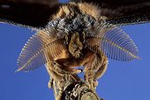 Antennas on top of Bombyx male Chinese oak[AT] ; Story : Alien's faces<br>Pheromone receptors