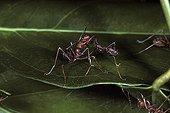 Weaving ants