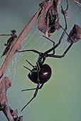 American Black Widow Spider on its web USA