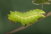 Chinese silkworm