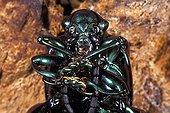 Frog-legged beetle