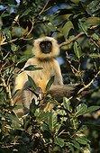 Entelle de l'Inde dans un arbre Forêt décidue Ranakpur Inde