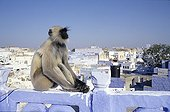 Hanuman langur sitting on a small wall Jodhpur India