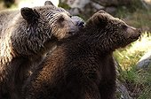 Tenderness between a female Brown Bear and its small