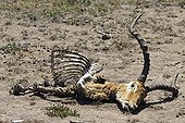 Mammal corpse attacked and eaten by lions Kenya