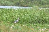 Shoebill swallowing prey Uganda