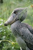 Portrait of Shoebill Uganda