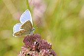 Chalkhill gathering nectar on flower France