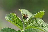 Colorado Potato Beetle on leaf