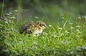 Poussin de Grand Tétras dans l'herbe