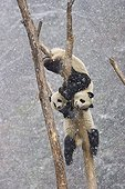 Giant pandas climbing in a tree Sichuan China ; Nature's Best Photography - Smithsonian Photo Exhibition 2009<br>ENDANGERED SPECIES WINNER