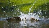 Osprey fishing Finland
