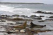 Eléphants de mer du Sud aux Iles Malouines