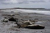 Eléphants de mer du Sud sur la plage Iles Malouines
