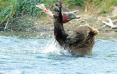 Grizzly Bear playing with a Sockeye Salmon  Katmai NP