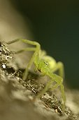 Portrait of a female Spider on a tree trunk France