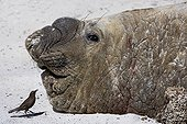 Southern elephant seal and Passeriforme in Falkland Islands