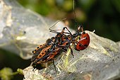 Assasin bugs mating and predating a Ladybird France