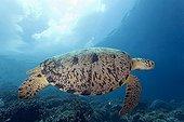 Green sea turtle swimming Maratua Indonesia