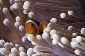 Clown anemonefish in its sea anemone Maratua
