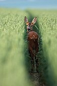 Female Roe deer walking in a wheat field Marne France