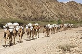 A caravan of camels carrying fodder Ethiopia