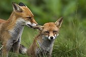 Pair of Red foxes grooming Calvados France