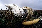 Skull of Muskox in tundra Bathurst island Canada