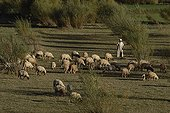 Berger Berber and his flock in the upper Atlas