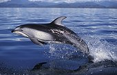 Pacific White-sided dolphin Canada