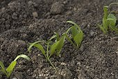 Young shoots of spinach before thinning