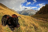 Herens cow lying in mountain pasture Valais Switzerland