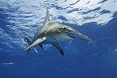 Great hammerhead Atlantic Ocean Bahamas