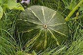Courge potimarron  'Kabosha' dans l'herbe France ; Commune : Les Ardouins