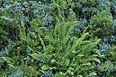 Deer fern in the peat bog of the col des Saisies Savoie ; City : Les Saisies