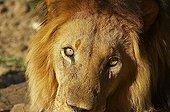 Regard de Lion Nord Windhoek Namibie