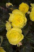 Yellow Tuberous Begonia France