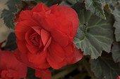 Red Tuberous Begonia France