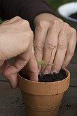 Plan out of gentian sage in flower bucket on a terrace