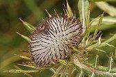 Button's flower of Bull thistle Savoie France ; City : Sainte-Foy-Tarentaise<br>Hamlet : Le Monal<br>